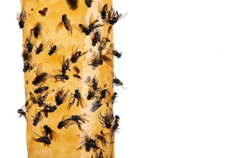 Fliegenfänger mit Fliegen