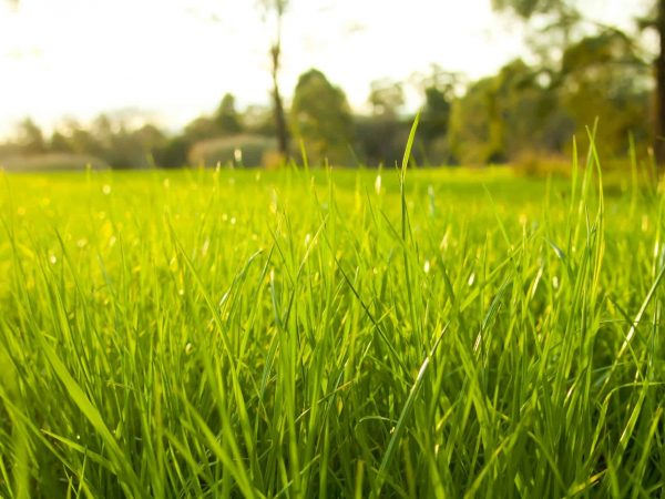 8235052 – getting eye level on lush green grass with the bright sun behind