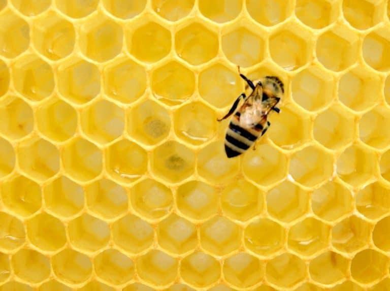 Biene auf gelber Honigwabe
