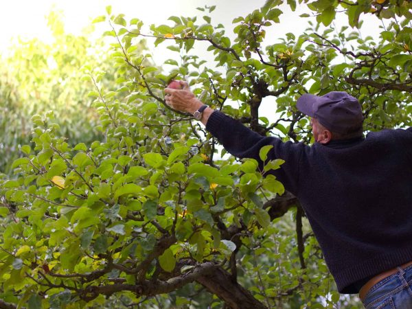 Senior man harvesting apples from the ladder in his garden. Harvest organic apples from a apple tree.