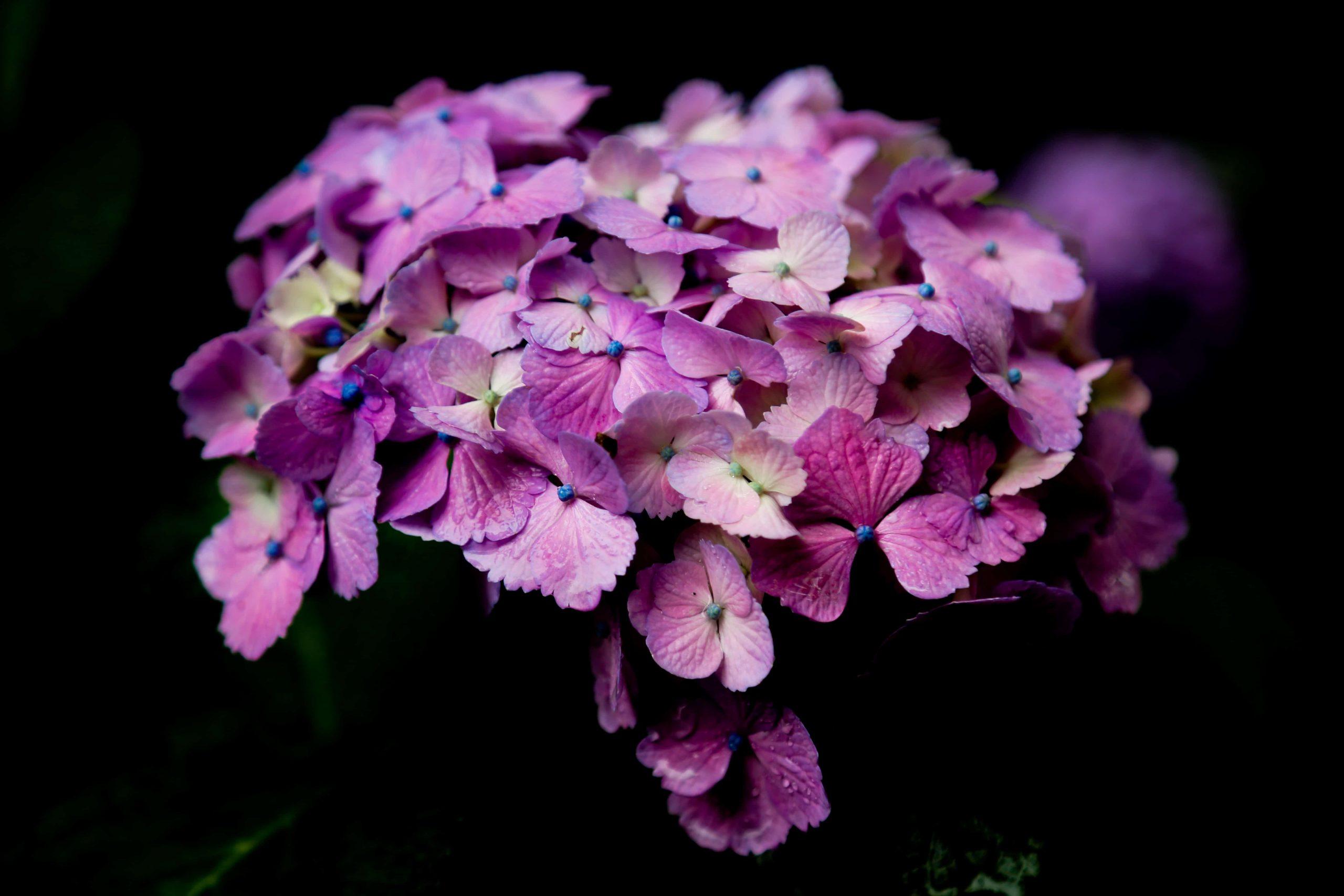 Hortensien düngen: Tipps und Tricks für eine besondere Blütenpracht