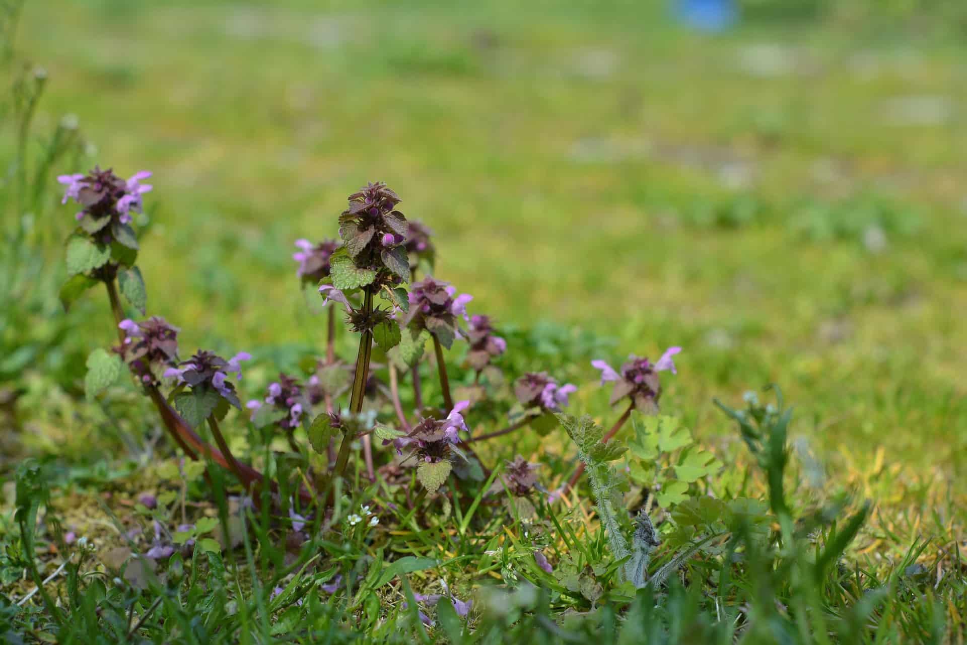 Unkraut Im Rasen Unkraut Effektiv Bekampfen Und Langfristig Loswerden