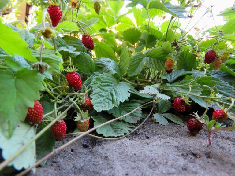 Ein Erdbeerbeet