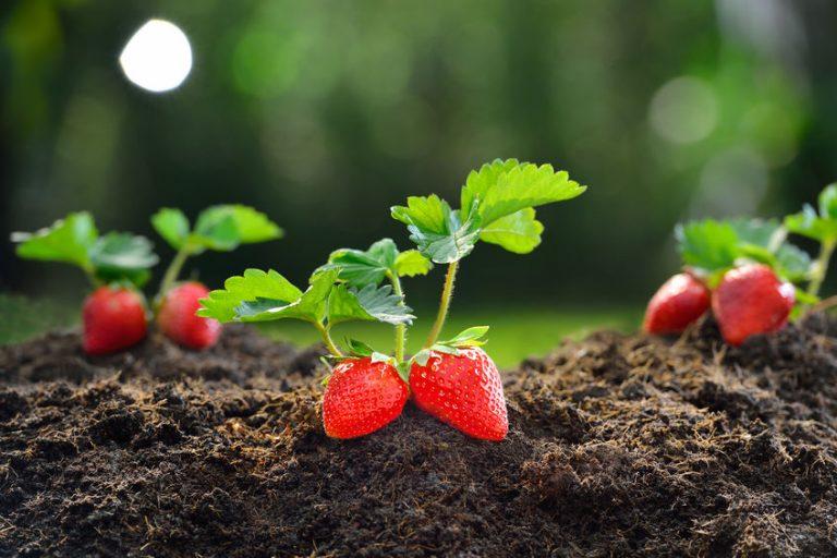 Knallrote Erdbeeren auf brauner Erde