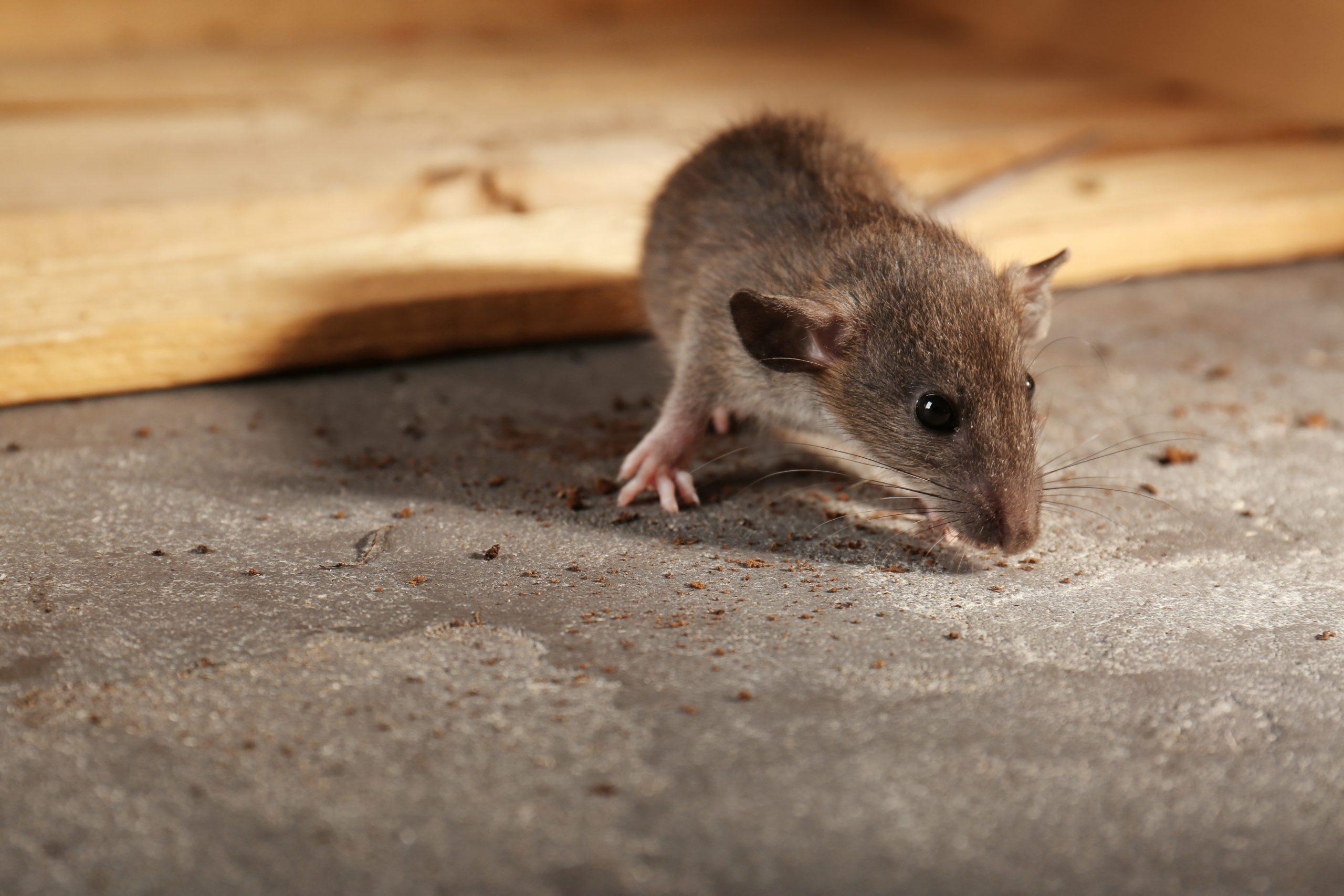 Mäusegift: Test & Empfehlungen (09/20)