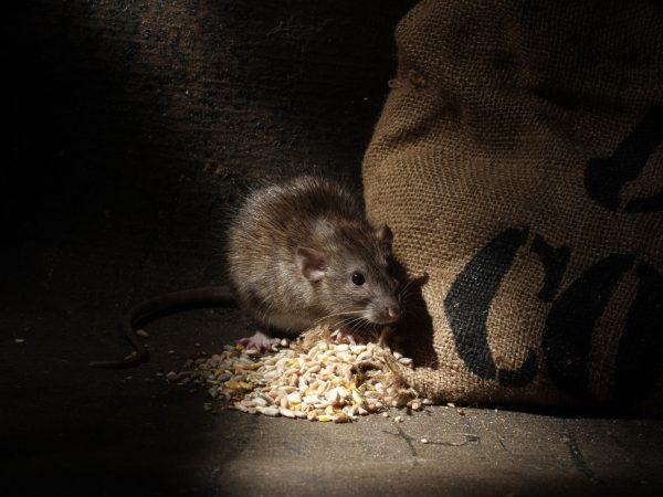 Rattengift: Test & Empfehlungen (01/20)