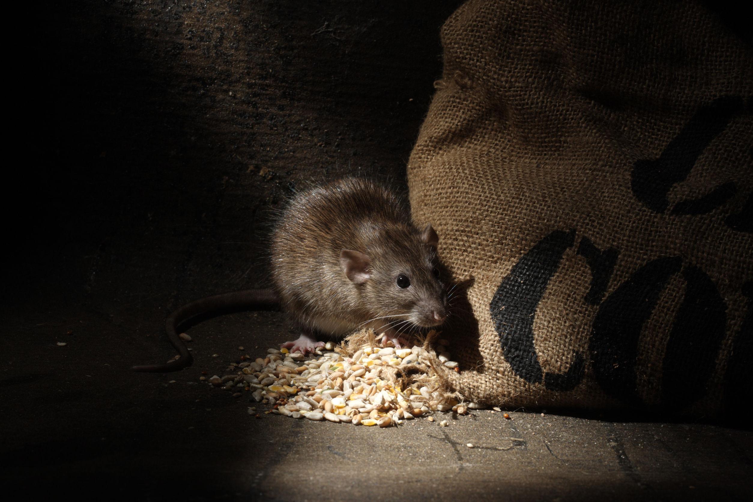 Rattengift: Test & Empfehlungen (07/20)