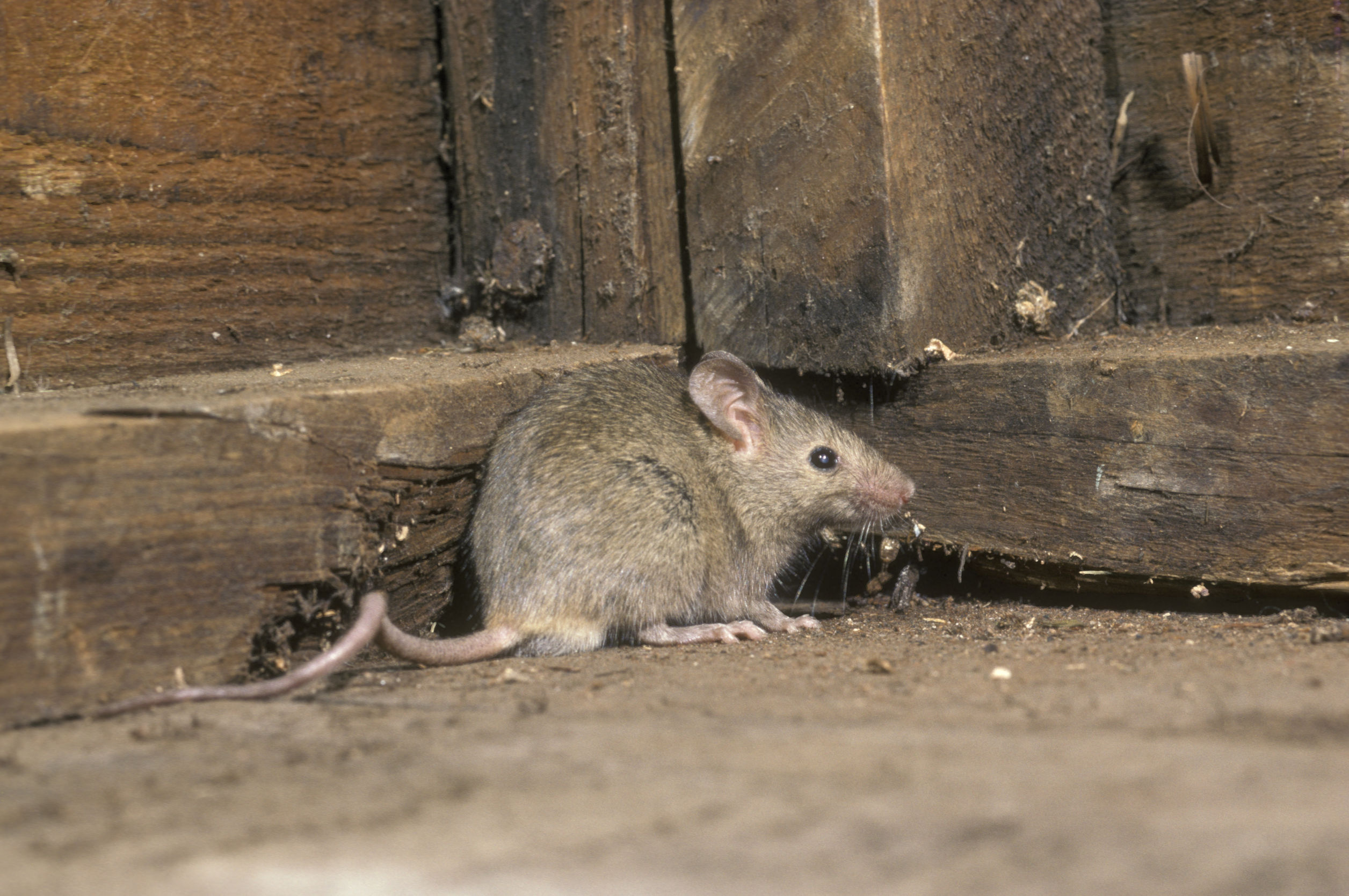 Mäuseschreck: Test & Empfehlungen (07/20)