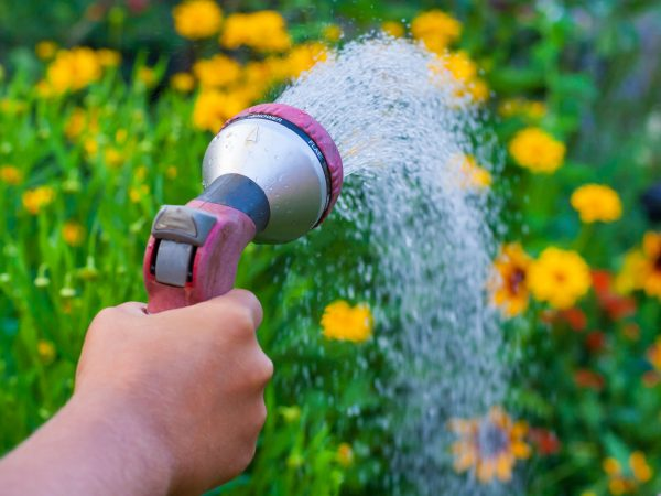 Close up view on a hand with a sprinkler, watering the yellow flowers in the green garden