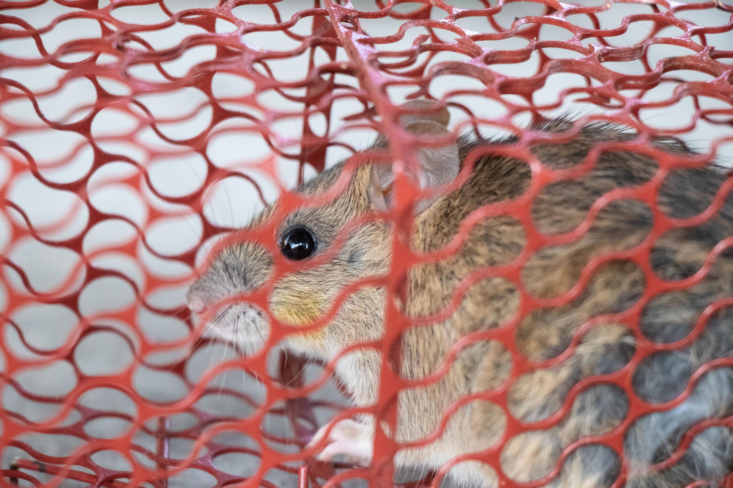 Lebendfalle für Mäuse