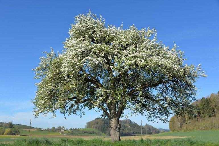 Ein Apfelbaum mit breiter Krone und in voller Blüte auf einem Feld.